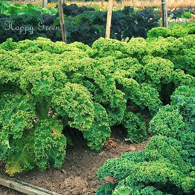 VEGETABLE - KALE - Borecole Dwarf Green Curled - 3500 seeds - Winter Hardy 8