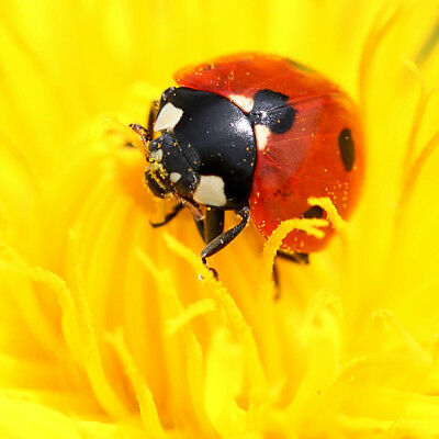 Dragonfli Ladybirds Adults - Live Ladybird Control Aphids Greenfly & Blackfly 3