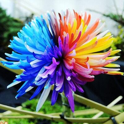 100 Rainbow Chrysanthemum Flower Seeds,rare Special Unique unusual Colorful 3