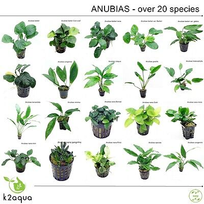Anubias 30 species Live Aquarium Plants Tropical Fish Tank Aquascape Tank Co2 EU 2