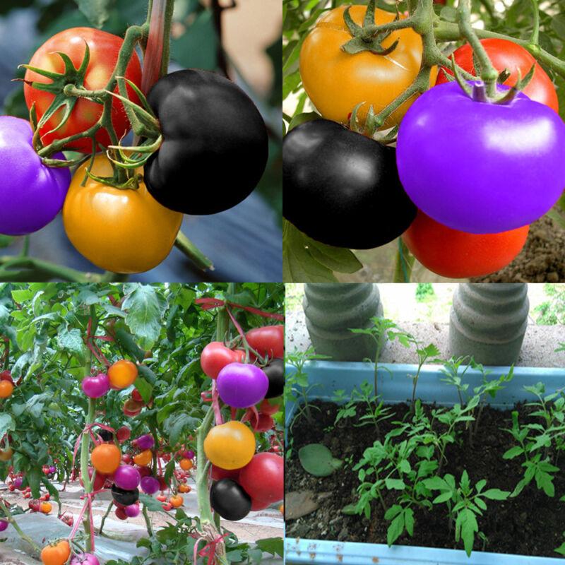 100Pcs Rainbow Tomato Seeds Colorful Bonsai Organic Vegetables Seed Home Garden