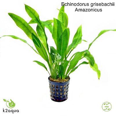 Echinodorus Amazonicus Amazon Sword Live Aquatic Plant Shrimp Fresh Water Java 3