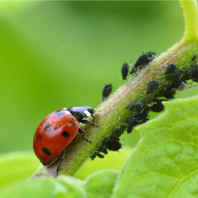 Dragonfli Ladybirds Adults - Live Ladybird Control Aphids Greenfly & Blackfly 2