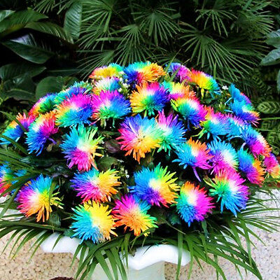 100 Rainbow Chrysanthemum Flower Seeds,rare Special Unique unusual Colorful 2
