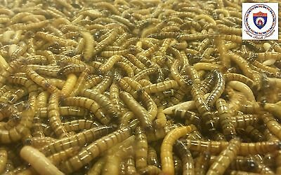 Live Superworms - Organically Raised - ALL SIZES / ALL COUNTS!  Free Shipping! 2