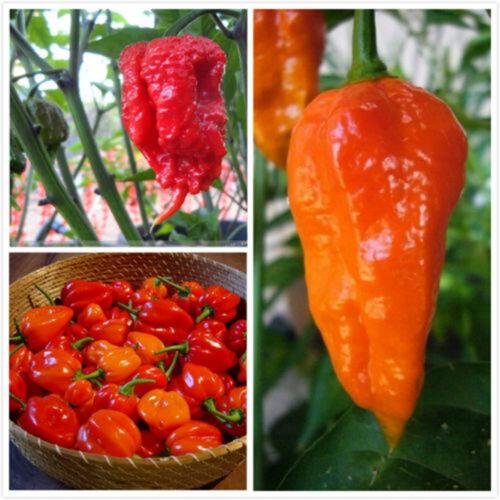 100Pcs Mixed Chili Ghost Pepper Carolina Reaper Trinidad Moruga Scorpion Seeds