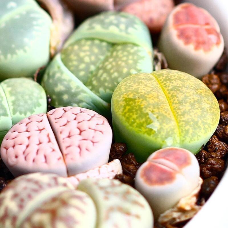 300pcs/bag mix lithops and rare succulent seeds Ass flower Living Stone bonsai 2