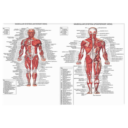 Muscular System Poster Anatomical Chart Human Body Anatomy Canvas Painting AU 2