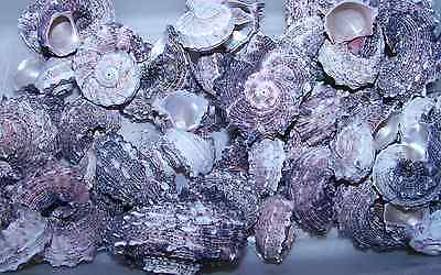 LOT 6  PINK DELPHINULA hermit crab sea shells seashell ITEM # 1030-6 2