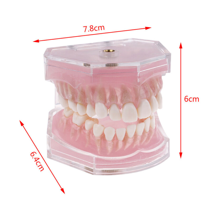 Dental orthodontic typodont plastic standards model 4004 with28 removeable teeth 11
