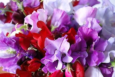 Flower Sweet Pea Royal Family Mix - 13 Gram ~ Approx 180 Flower Seeds