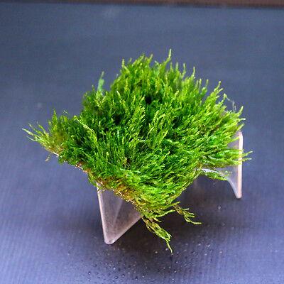 Flame Moss pad Aquarium -Live Plantes kh eau Low Light pour les crevettes 5