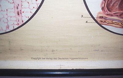 Alte Rollkarte Schulkarte Atmungsorgane Lunge Anatomie um 1930 HMD deko ! (14 7