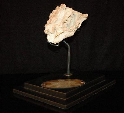 Rhombodus Binkhorsti Ray Fossil Jaw Bone On Matrix From Morocco On Stand #rh2