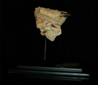 Three Real Mosasaur Fossil Tooth In Original Matrix From Morocco On Stand #m2 6