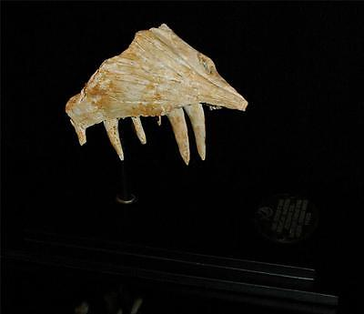 Enchodus Lybicus Fossil Jaw Snout With Tooth From Morocco On Stand #en3 5