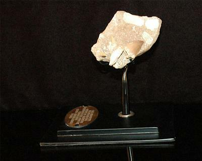 Mosasaur Fossil Tooth With Associated Bones From Morocco On Stand #m9 5