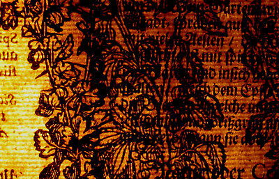 Faulbaum Kreuzdorn WEGEDORN Original Textblatt Fragment um 1590 Apotheker Arznei 3