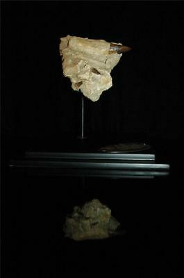 Three Real Mosasaur Fossil Tooth In Original Matrix From Morocco On Stand #m2 7