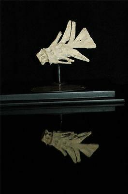 Unidentified Fish Tail Fossil Bone From Morocco On Stand #f6 7