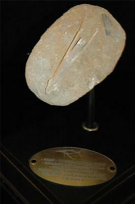 Cylindracanthus Fish Fossil Snout Bone On Matrix From Morocco On Stand #cy 5