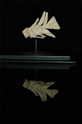 Unidentified Fish Tail Fossil Bone From Morocco On Stand #f6 8