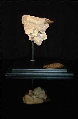 Three Real Mosasaur Fossil Tooth In Original Matrix From Morocco On Stand #m2 10
