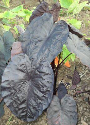 colocasia esculenta BLACK SAPPHIRE GECKO magic   plante bassin 1.80 m 2