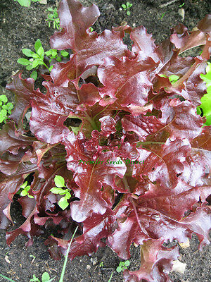 Vegetable  Lettuce Red Oakleaf  2000 Finest Seeds 2
