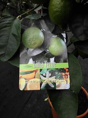 echte Limette Caipirinha Limette 60cm Citrus latifolia Limettenbaum