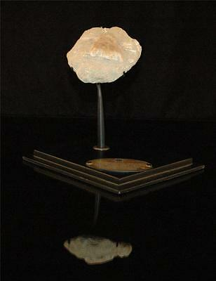 Amazing Turtle Tail Fossil Bone  With Stand From Morocco #t1 2