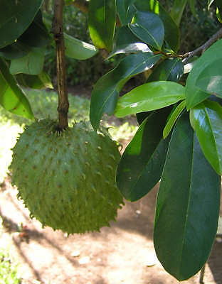 ~SOURSOP~  Annona Muricata XL FRUIT TREE Guanabana Potted Plant 3-4 FT