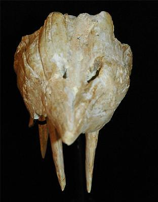 Enchodus Lybicus Fossil Jaw Snout With Tooth From Morocco On Stand #en3 10