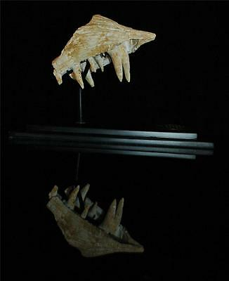 Enchodus Lybicus Fossil Jaw Snout With Tooth From Morocco On Stand #en3 3