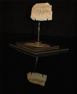 Unidentified Fish Vertebra Fossil Bone From Morocco On Stand #fv11 3 • CAD $188.75
