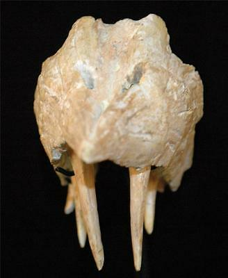 Enchodus Lybicus Fossil Jaw Snout With Tooth From Morocco On Stand #en3 12