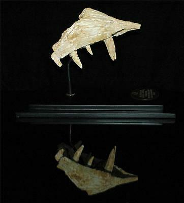 Enchodus Lybicus Fossil Jaw Snout With Tooth From Morocco On Stand #en3 2