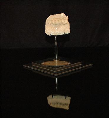 Unidentified Fish Vertebra Fossil Bone From Morocco On Stand #fv11 2 • CAD $188.75