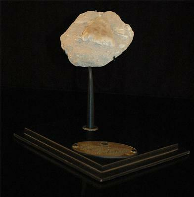 Amazing Turtle Tail Fossil Bone  With Stand From Morocco #t1 3