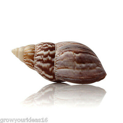 Landsnail Japanese Large 7-9cm Beach SeaShell