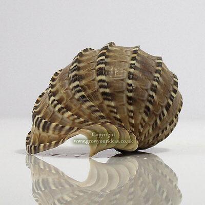 Harpa Harpa Sea Shell 8-10cm Seashell for aquariums, crafts, or weddings
