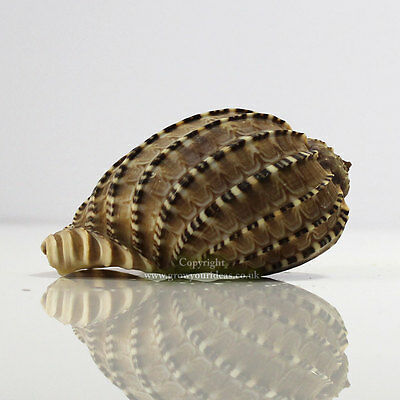 Harpa Harpa Sea Shell 9-11cm Seashell for aquariums, crafts, or weddings