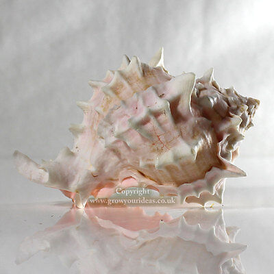 Murex Rose 10-12 cm Seashell for aquariums, crafts, or displaying air plants