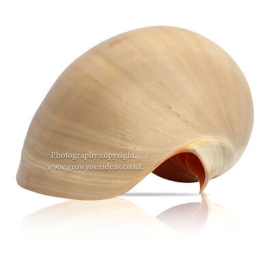 Large Melon Shell Large Polished 20 cm to 22.5 cm  Beach SeaShell