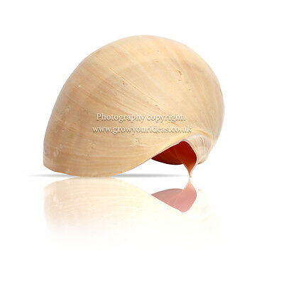 Extra Large Melon Shell Large Polished 22.5 cm to 25 cm  Beach SeaShell