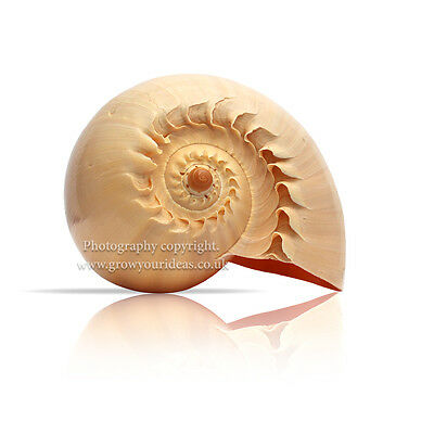 Extra Large Melon Shell Large Polished 22.5 cm to 25 cm  Beach SeaShell