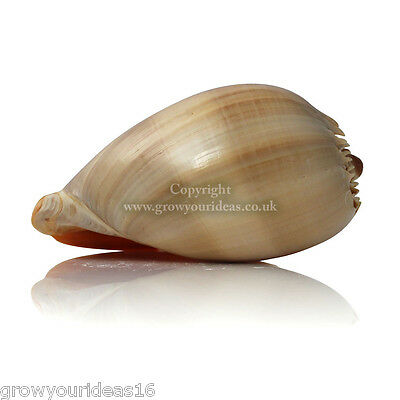 Melon Shell Large Polished 15-17.5cm Beach SeaShell