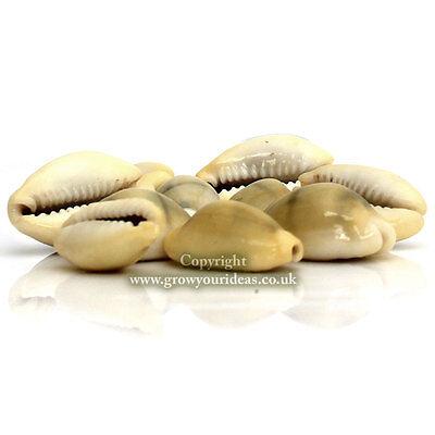 50 x Money Cowrie Cypraea Moneta Craft Seashells 15mm-20mm
