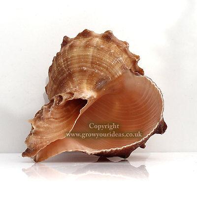 Rapana rapiformis Turnip 8-10cm Seashell for aquariums, crafts, or weddings