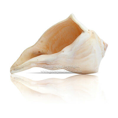 RARE Polished left-handed Whelk Shell Seashell 15-17.5cm